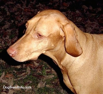 Close up head and chest shot - The left side of a short coated, red Vizsla that is standing in grass and it is looking to the left. The dog has long ears that hang down to the sides, golden yellow eyes and a brown nose.
