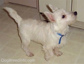 The front right side of a West Highland White Terrier puppy that is standing across a tiled surface in a kitchen looking up and to the right. It has dark eyes, a black nose and short legs.