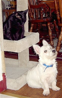 A West Highland White Terrier puppy is sitting in front of a scratching post with a black cat on top of it. The cat is looking down at the dog.