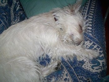 A West Highland White Terrier is sleeping on its left side on a blue and white couch.