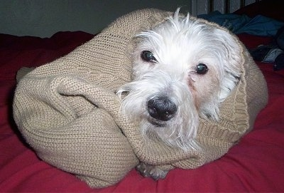 A Westie dog is laying on a red bed and it is wrapped in a tan sweater.