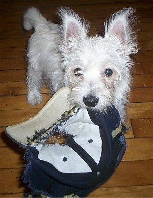 A shaggy looking, white West Highland White Terrier is standing on a hardwood floor with a chewed up blue and white baseball cap in its mouth.