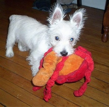 The front right side of a fizzy West Highland White Terrier that is standing on a hardwood floor and it has a red and orange toy in its mouth.
