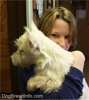 The left side of a Westie puppy that is being held in the shoulder of a person that is looking forward. The dog has small perk ears.