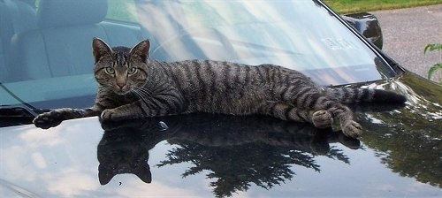 Whiskers the gray tiger cat is laying against a window on the hood of a car
