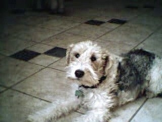 The front left side of a wavy coated, tan with black Wire Fox Terrier dog laying across a tiled floor and it is looking forward.