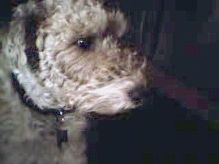 Close up side view head shot - A tan with black Wire Fox Terrier is sitting on a carpet and it is looking to the right.
