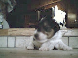 A tiny white with black and tan Wirehaired Fox Terrier puppy is laying on a step and it is looking to the left.