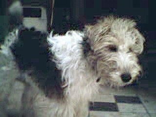 The back right side of a white with tan and black Wire Fox Terrier dog standing on a tiled floor and it is looking forward.