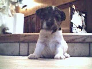 A small white with black and tan Wirehaired Fox Terrier puppy is sitting on a step and it is looking down.
