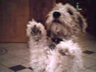 A tan with black Wire Fox Terrier dog standing on a tiled floor with its front paws in the air. The dog is looking up.