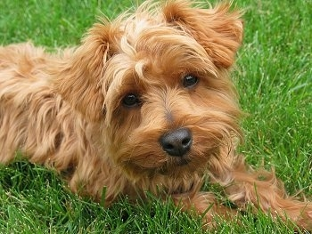Close up - The right side of a thick coated, medium-haired, golden reddish brown Yorkipoo dog laying across a grass surface and its head is tilted to the left. The dog has a black nose and almond shaped brown eyes. It has small ears that fold over to the front.