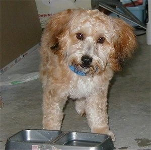 A brown with tan Yorkipoo dog standing on a carpet and there is a food and water bowl in front of it. Its ears hang down to the sides with longer hair on them.