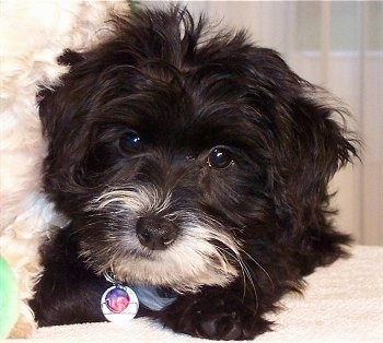 Yorktese Puppy Dogs - Yorkie / Maltese Cross