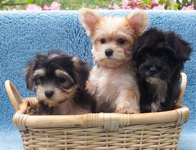 A wicker basket with three Yorktese puppies in it. The first puppy is black and tan with ears that hang down to the sides, the middle puppy is fuzzy and tan with perk ears adn dark eyes, and the puppy on the right is black and white with ears that hang down to the sides.