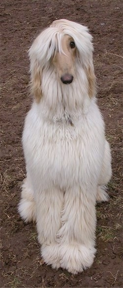 A tan Afghan Hound is sitting in dirt and it is looking forward.