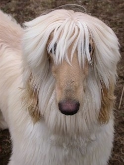 Close up - A tan Afghan Hound with bangs in eyes is standing on dirt and it is looking forward.