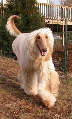 A tan Afghan Hound is running along a fence line with its mouth open.