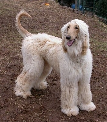 The front right side of a tan Afghan Hound standing in dirt with his tail up.
