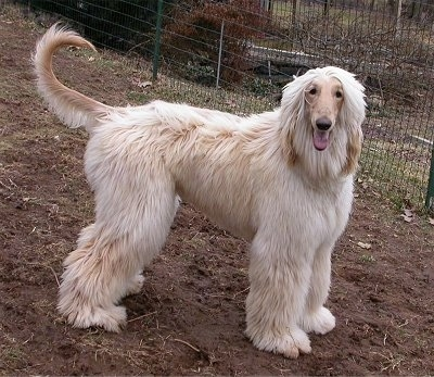 The right side of a tan Afghan Hound that is standing on dirt in front of a fence, it is looking forward and its mouth is open.