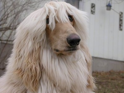 Close up - A tan Afghan Hound has its bangs covering its eyes.