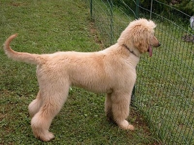 Afghan Hound puppy looking out of a fence