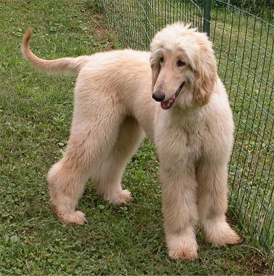 The right side of a tan Afghan Hound that is standing next to a fence and it is looking forward.