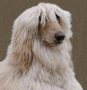Close up - The front right side of a tan Afghan Hound with its hair hanging over his eyes and it is looking to the right.