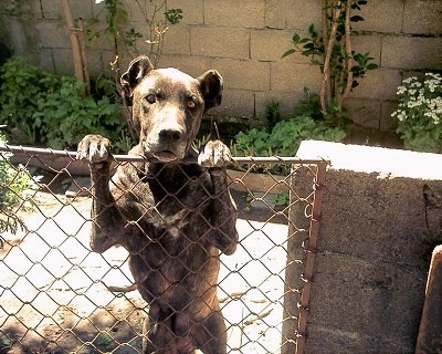 A black brindle Perro Cimarron is jumped up against a chain link gate peering over the top. Its ears are docked to be rounded and small.