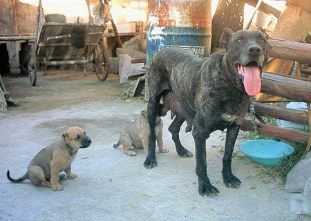 An adult dog with her puppies - A black brindle Perro Cimarron dog is standing in dirt with a puppy sitting across from it. There is another puppy nursing from her.