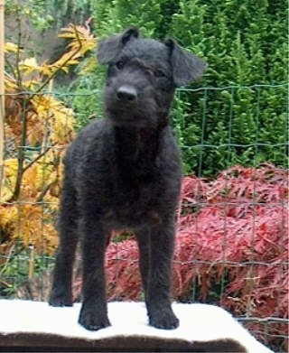 A wavy-coated black Lakeland Terrier is standing on a top of a table in a backyard in front of a wire fence with orange, red and green trees behind it. Its head is tilted to the right.