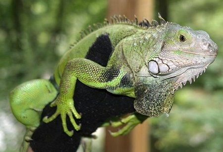 Close up - A green iguana holding on to a person's arm. That person is wearing a black glove.
