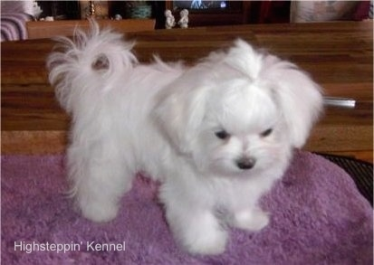 A stuffed toy looking, soft, white Maltese puppy standing on a purple mat looking down.