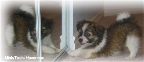 A brown with white and black short-haired Havanese puppy is play bowing in front of a mirror