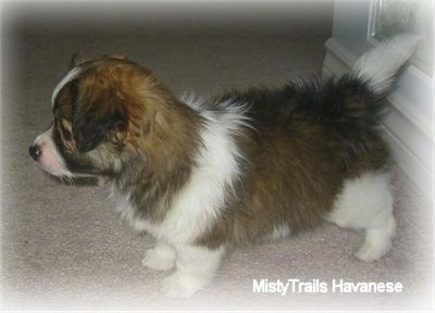 A brown with white and black short-haired Havanese puppy is standing on a tan carpet. Its tail is straight out.
