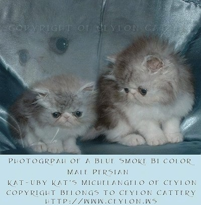 Two Bicolor Persian Kittens are sitting on a leather couch. There is a picture of one of the kittens blended into the top part of the couch. 'Photograph of a Blue Smoke Bi Color Male Persian Kat-Uby Kat's Michelangelo of Ceylon Copyright Belongs to Ceylon Cattery htt://www.ceylon.ws' are overlayed at the bottom third of the photo