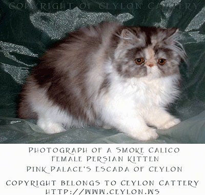 Calico Persian Kitten is standing on a green backdrop and looking down towards the camera holder. 'Photograph of a Smoke Calico Female Persian Kitten Pink Palace's Escada of Ceylon' Copyright Belongs to Ceylon Cattery htt://www.ceylon.ws' are overlayed at the bottom third of the photo