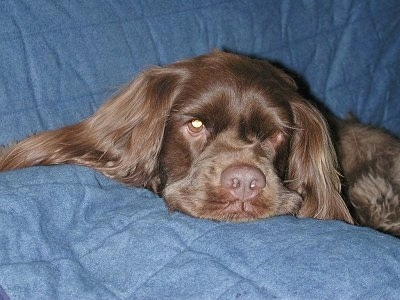 Close up head shot - A brown Sussex Spaniel dog laying down across a blue blanket that is placed on top of a couch.
