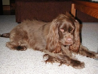 The front right side of a brown Sussex Spaniel that is laying across a carpet. It is looking down and forward. It has long hair on its long drop ears and fringe hair on its legs and under belly, a brown nose and brown eyes.