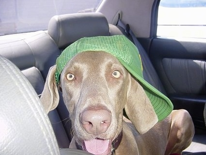 Close up - A Weimaraner dog is laying across the backseat of a vehicle and it has on a green 'John Deere' trucker hat. The dog has a gray liver nose and yellow eyes.