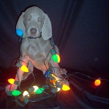 A Weimaraner puppy is sitting against the back of a leather couch and it has lit christmas lights wrapped around it.