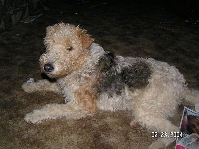 The left side of a tan with black Wire Fox Terrier dog laying across a carpeted surface. It has small v-shaped ears that fold over to the front.