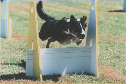 Dandy the English Shepherd is jumping over a hurdle in an agility course