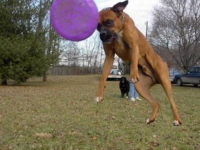 Close Up - Gable the Boxer is jumping up in a field to catch a purple Frisbee. All four of his paws are way off the ground.