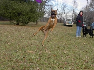 Gable the Boxer is jumping up in a field to catch a purple Frisbee. There is a person and a black dog in the background watching Gable, who is way up in mid-air