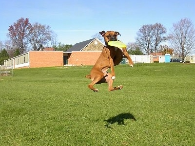 Gable the Boxer is jumping up way off the ground in a field with a school building behind him to catch a light green Frisbee