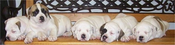 A litter of 5 American Bulldog Puppies laying down on a bench