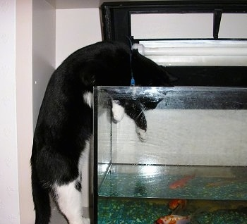 Garfield the black and white cat reaching his paws down into a fish tank