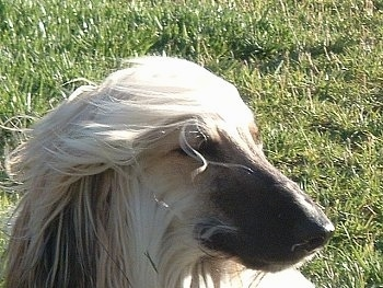 Close up - The right side of the face of a tan with black Afghan Hound that is sitting in a yard and its hair is being blown by the wind.