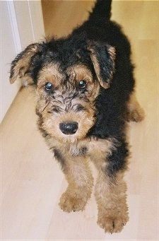 A black with tan Airedale Terrier puppy is standing on a hardwood floor and it is looking forward.
